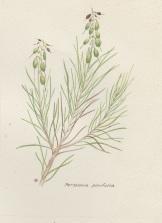 P. pinifolia 002