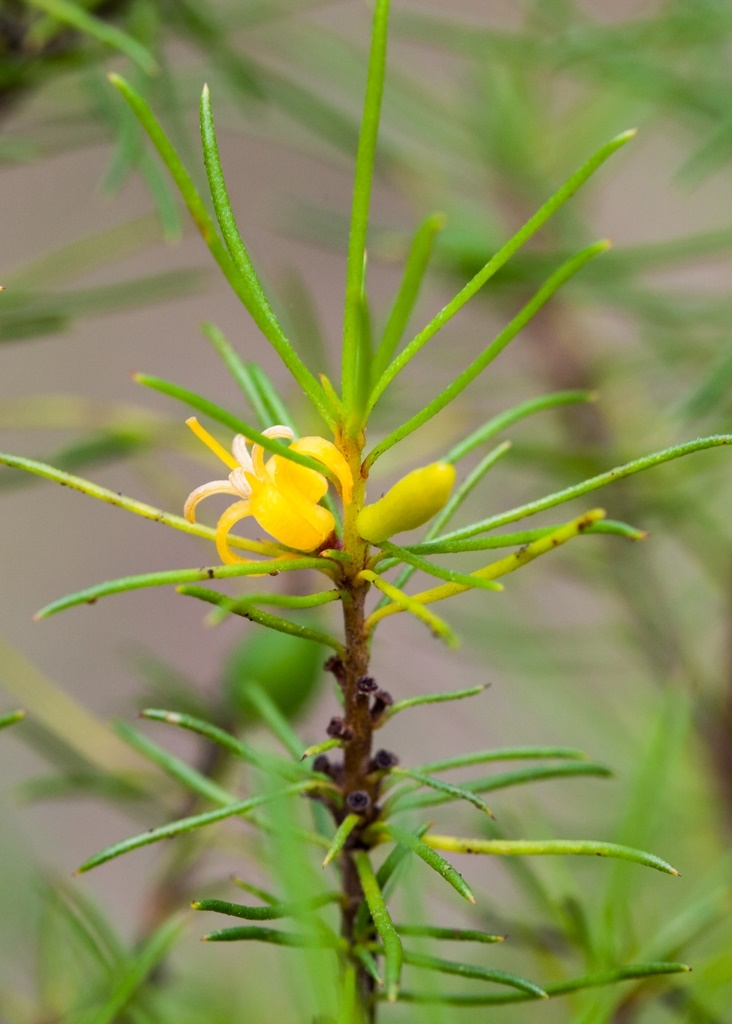 persoonia-2