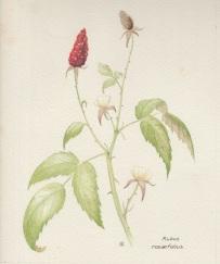 Rubus 002
